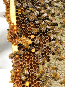 honey-bees-91618_640